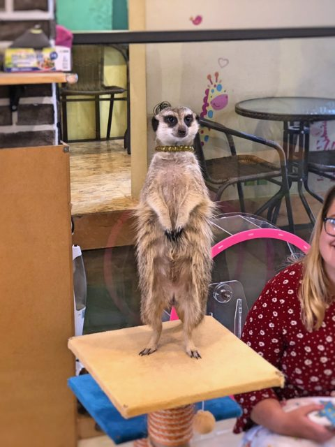 A little zoo in the heart of Seoul – Meerkat Café in Hongdae